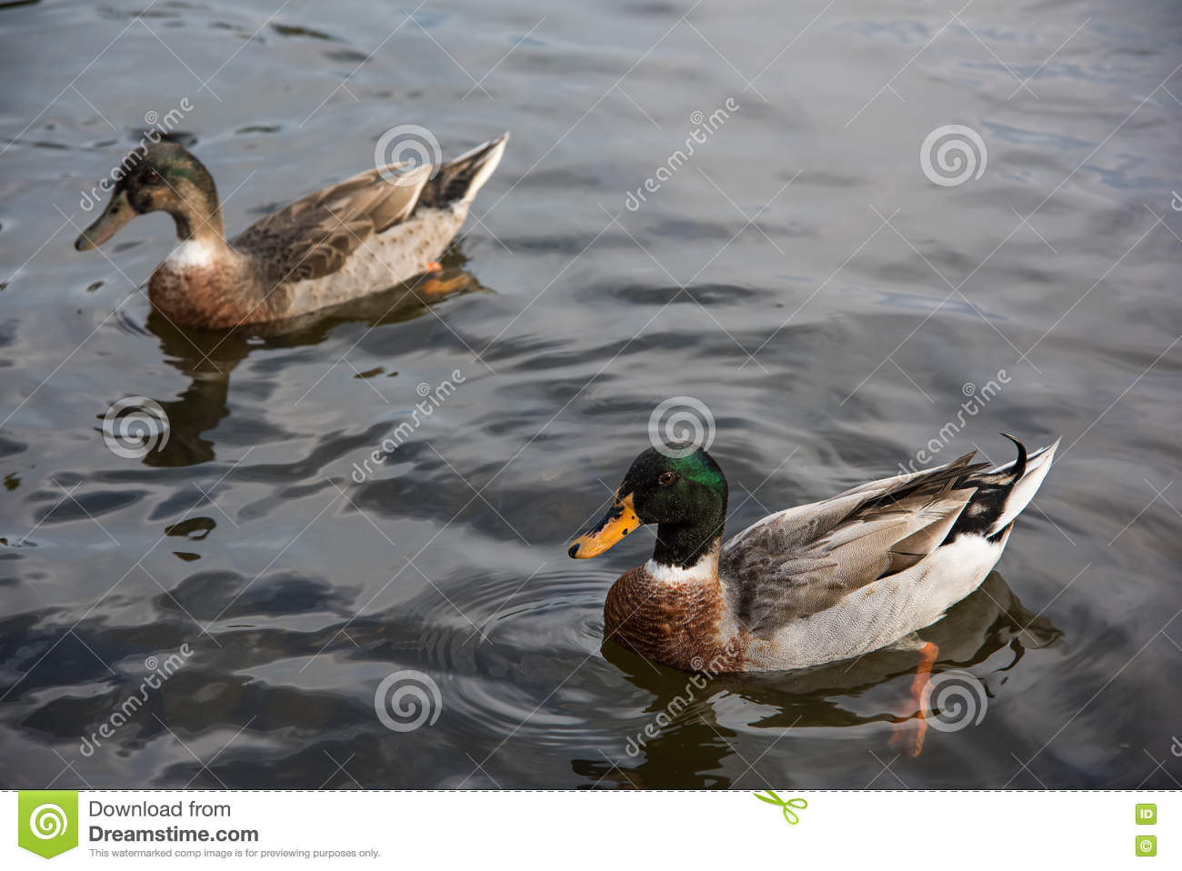 Couple Ducks Swimming On The Water. Stock Image - Image ...