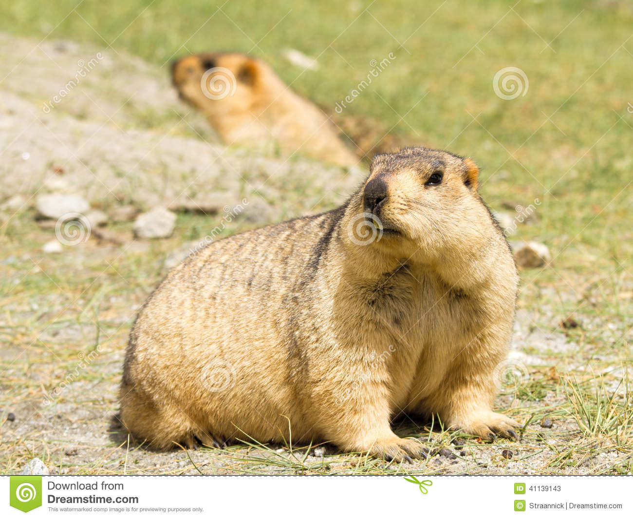 Couple of funny surprising marmots on the green grass
