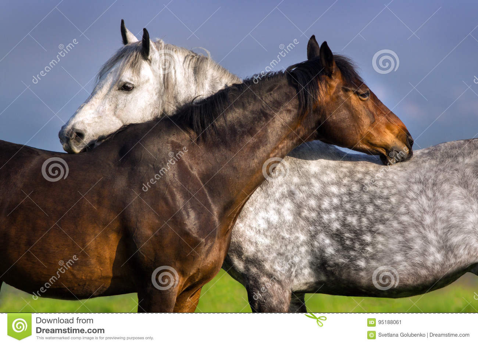 Couple of horse portrait