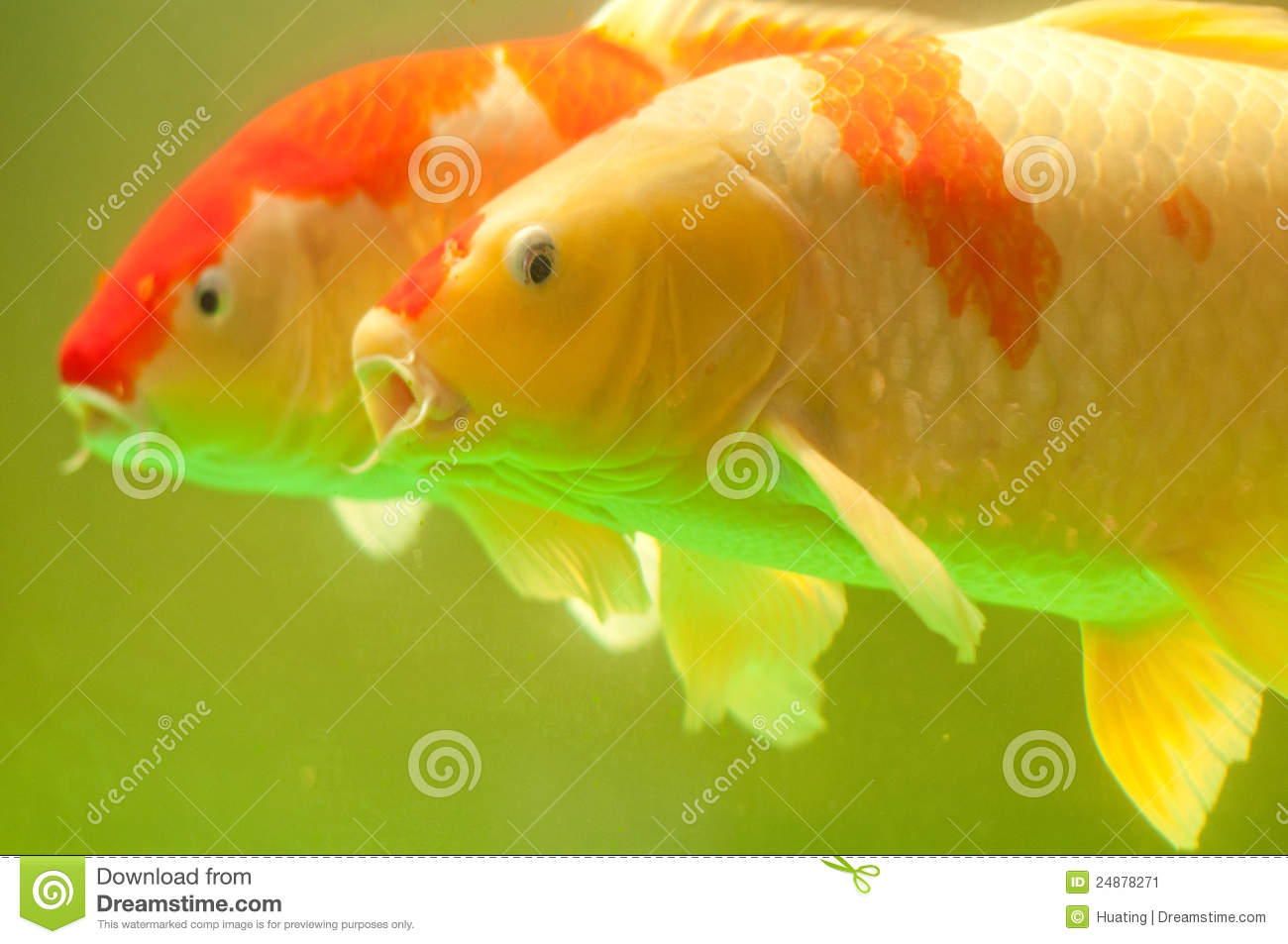 Couple of koi fish stock image image 24878271 for Koi fish swimming pool