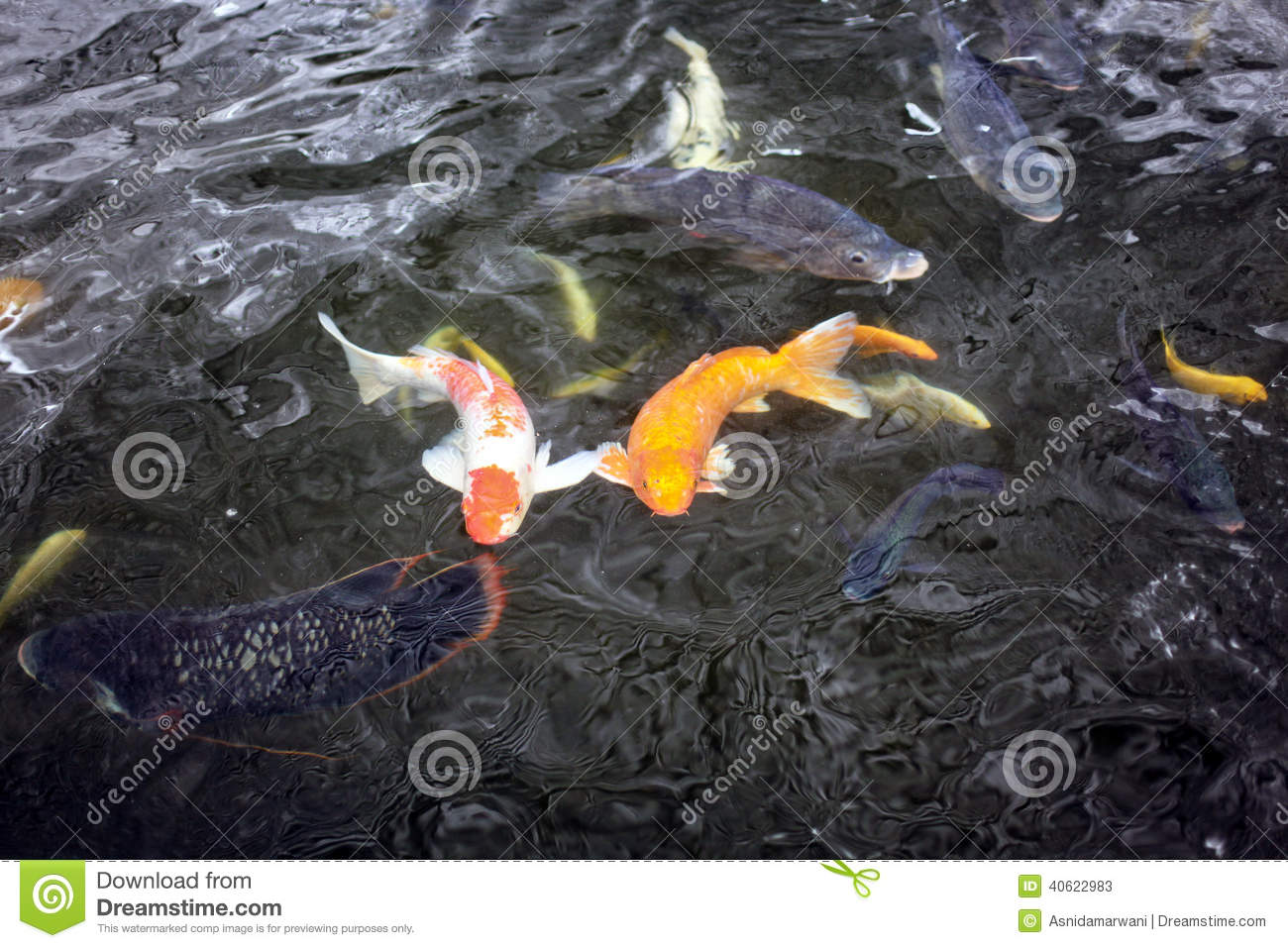 Couple of koi fish swimming in the pond stock photo for Fish swimming video