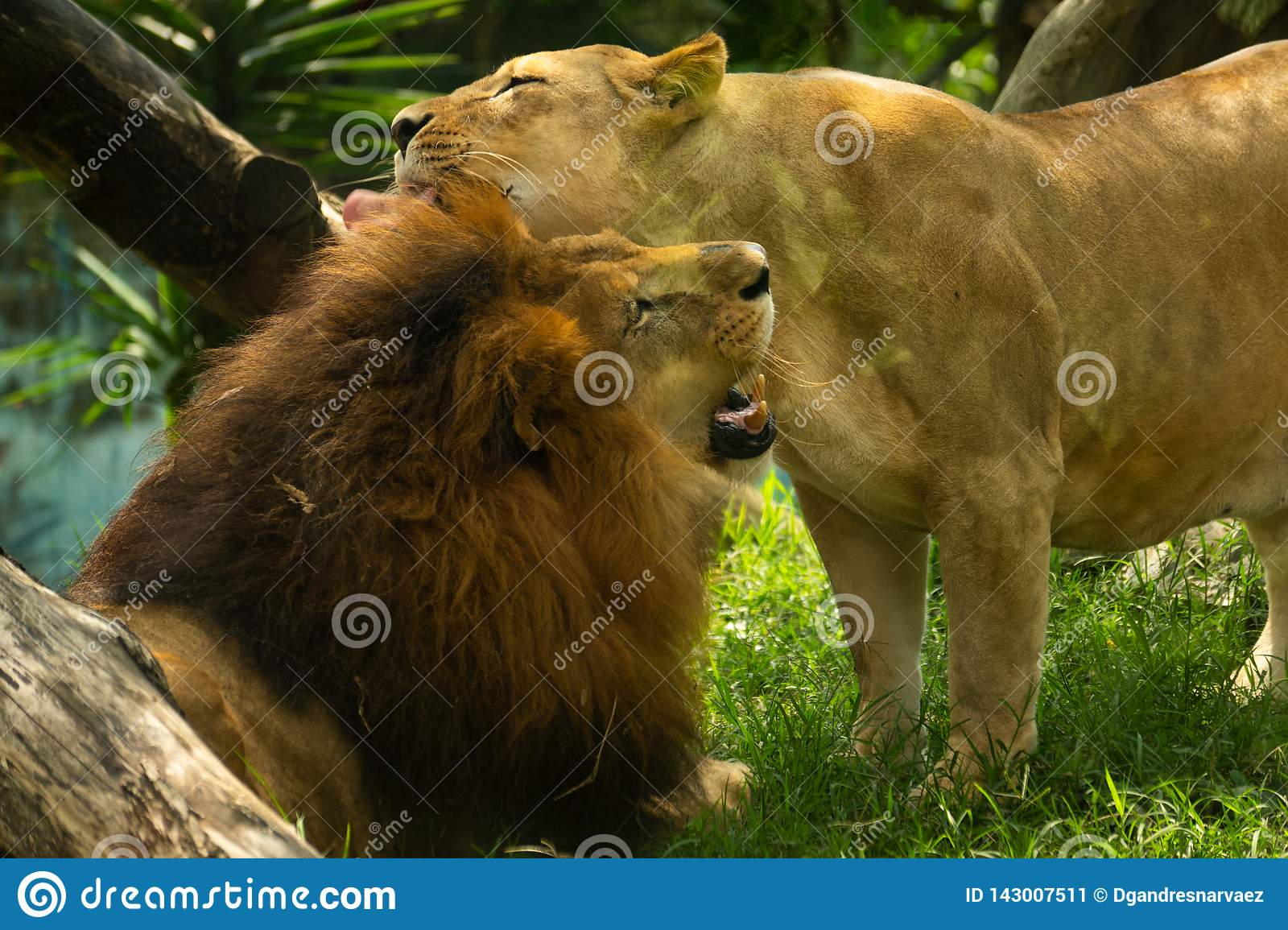 Couple of lion lovers giving a hug