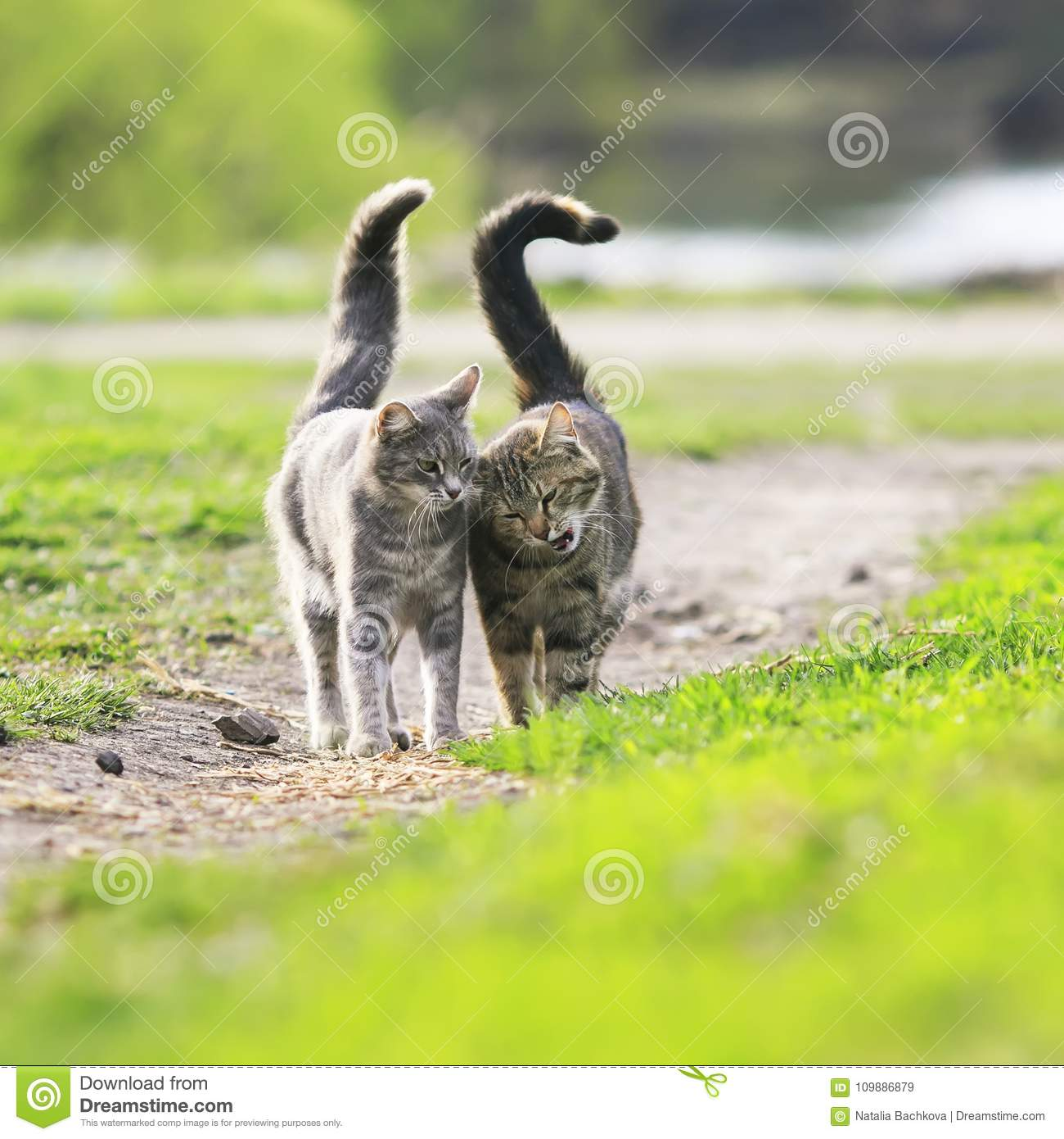 couple in love beautiful striped cats are side by side on a gr