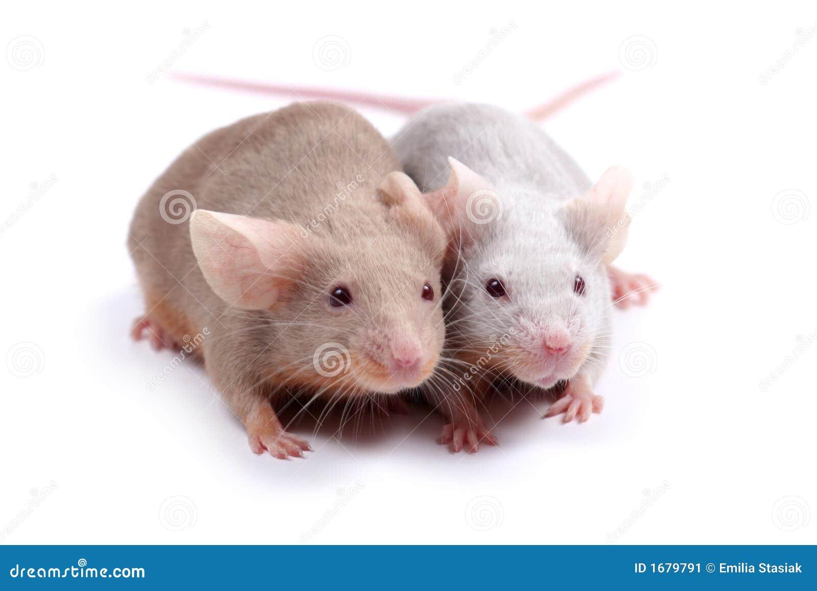 Couple Of Mice Stock Image Image Of Romance Gerbil Beige 1679791