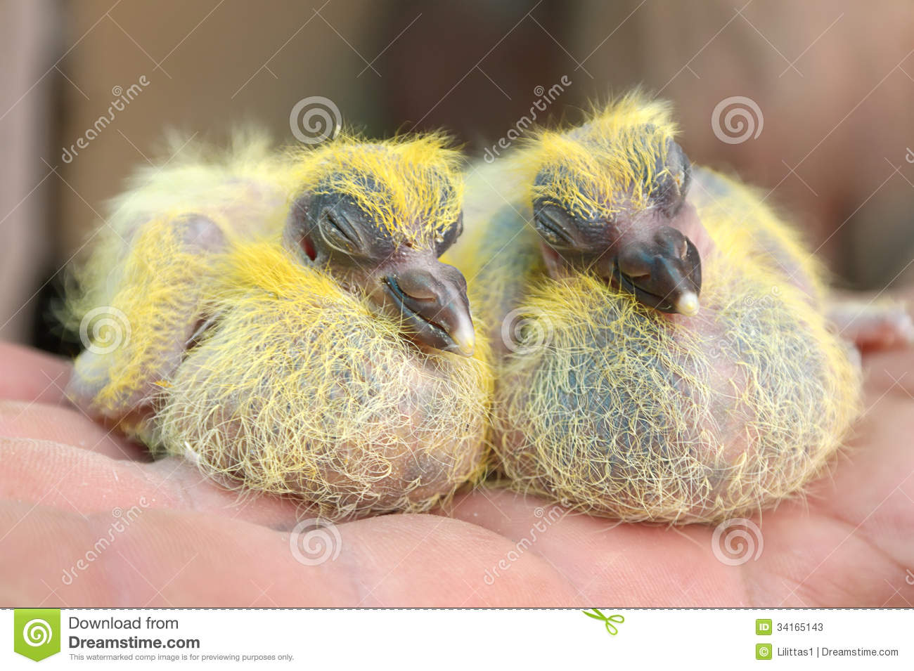 Couple Pigeon Nestlings Baby Cheeper Sitting On Hand Stock