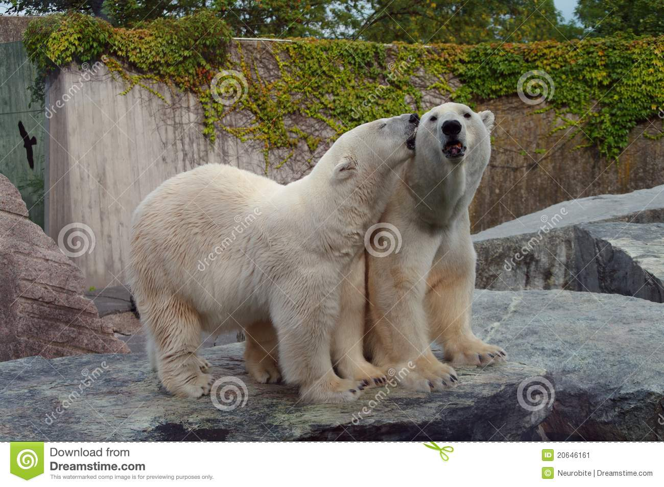 polar bear couple - photo #1