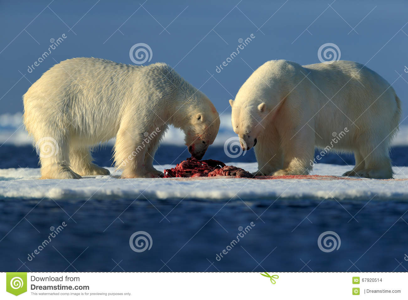 Couple of polar bears tearing hunted bloody seal skeleton in Arctic Svalbard