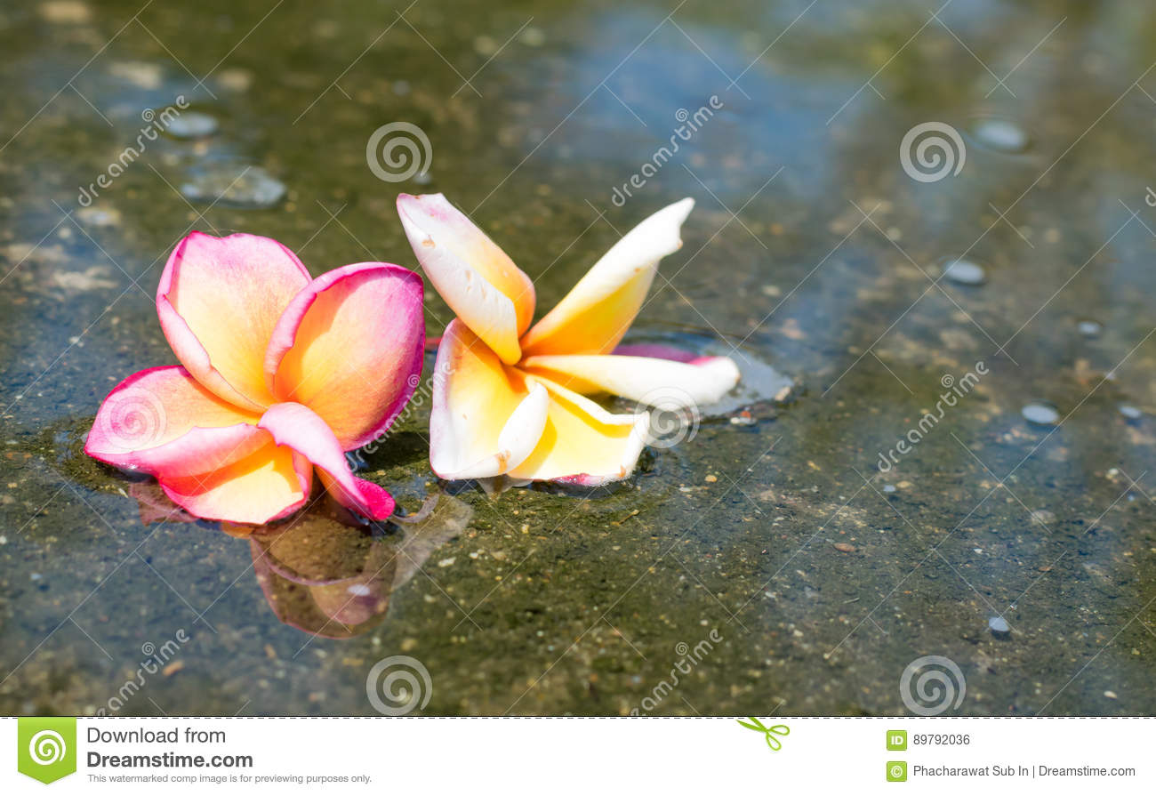 the couple red yellow and white plumeria flower are drop in water with plumeria tree shadow