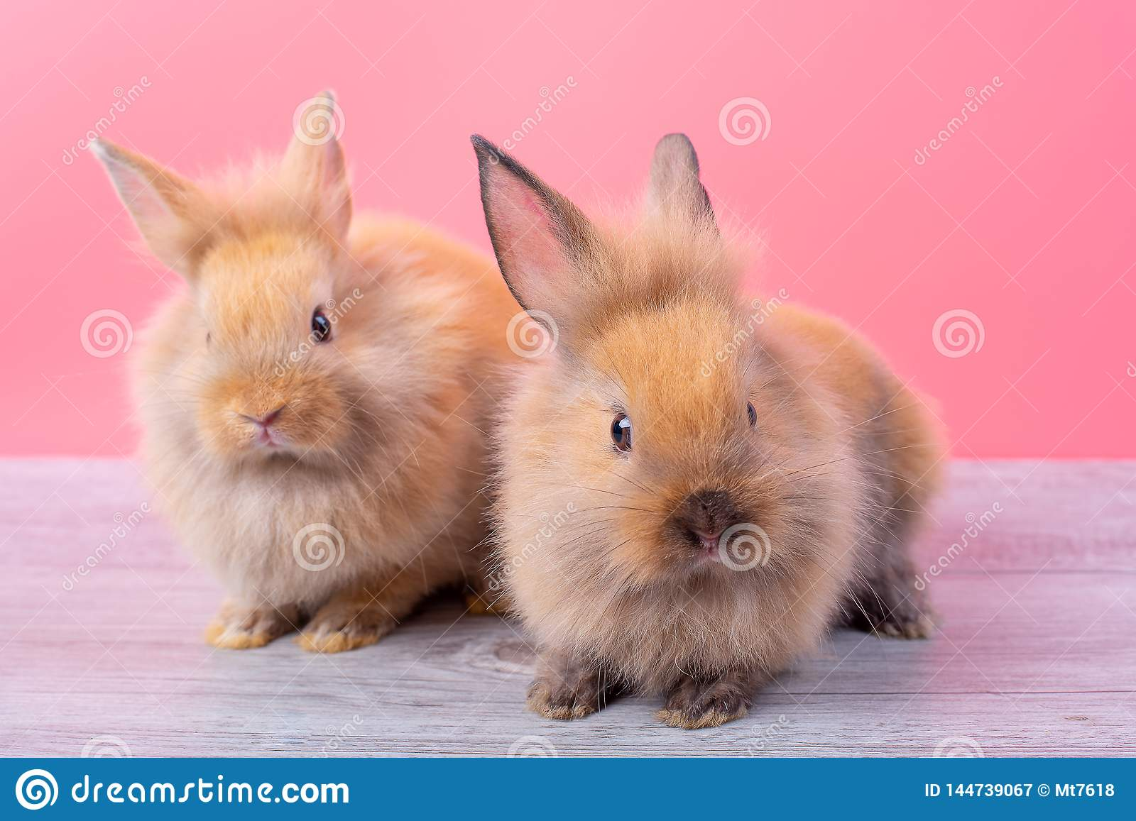 Couple small light brown cute bunny rabbits stay on gray wood table with pink background