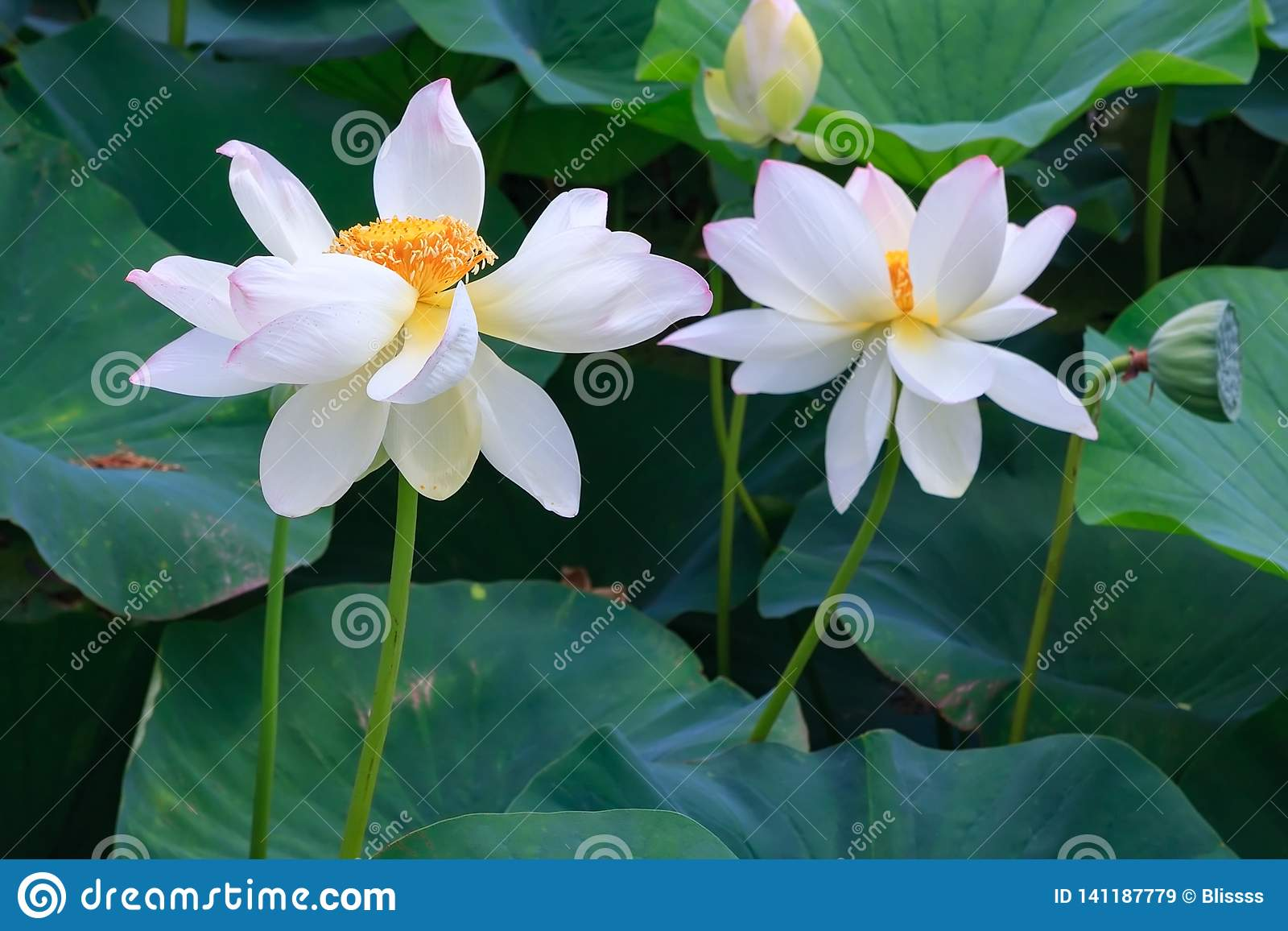 Couple of white blossoming lotus flowers on green leaves background close up view