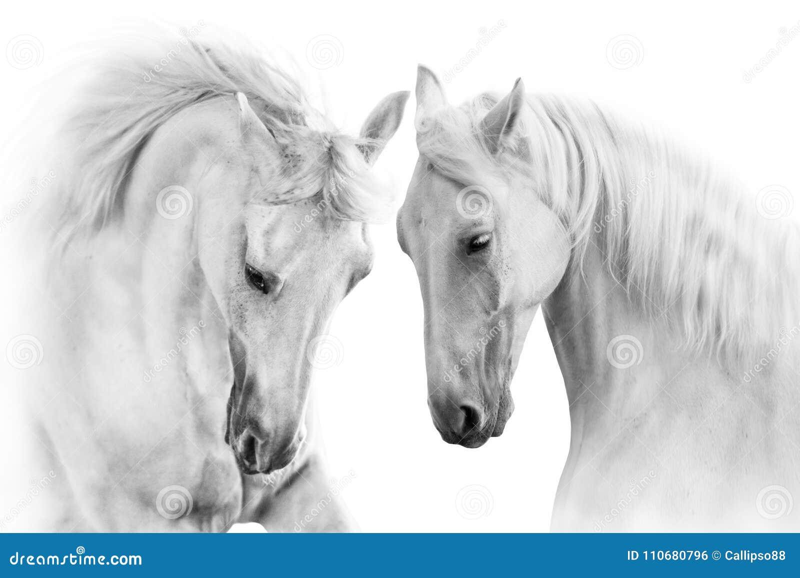 White Horses With Long Mane Stock Photo Image Of Beautiful Curious 110680796