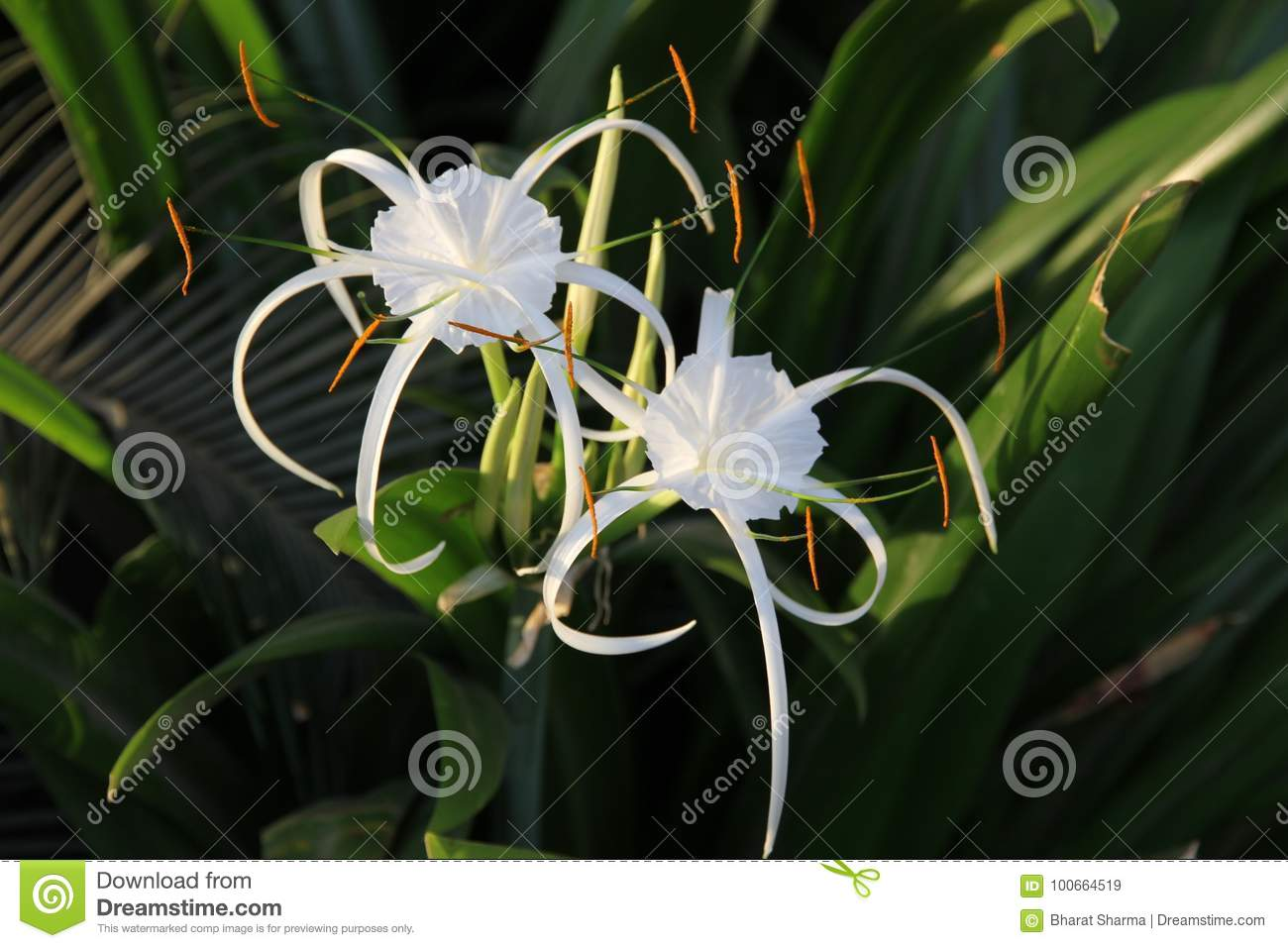 Couple of white lily like flowers with long petals stock image couple of white lily like flowers with long petals izmirmasajfo