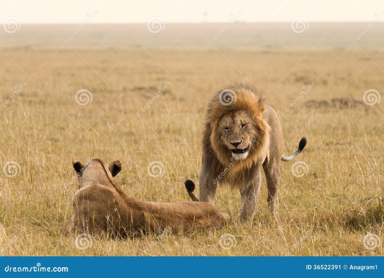 Couples africains de lion