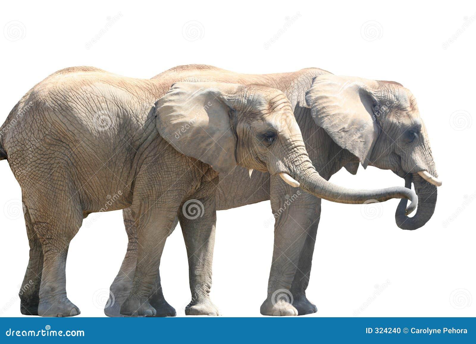 Couples d éléphant