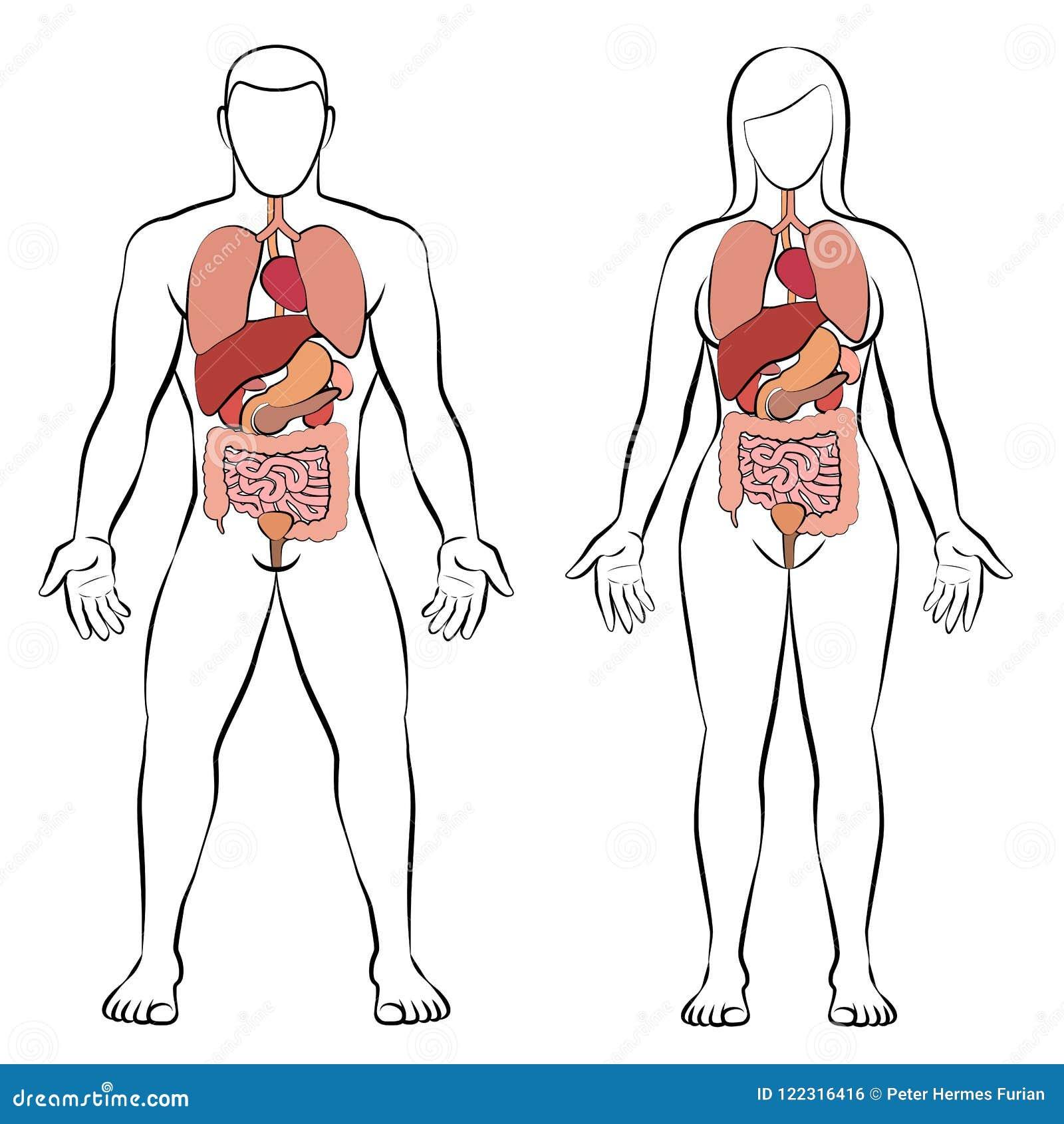 Couples De Femme D Homme D Organes Internes De Tube Digestif