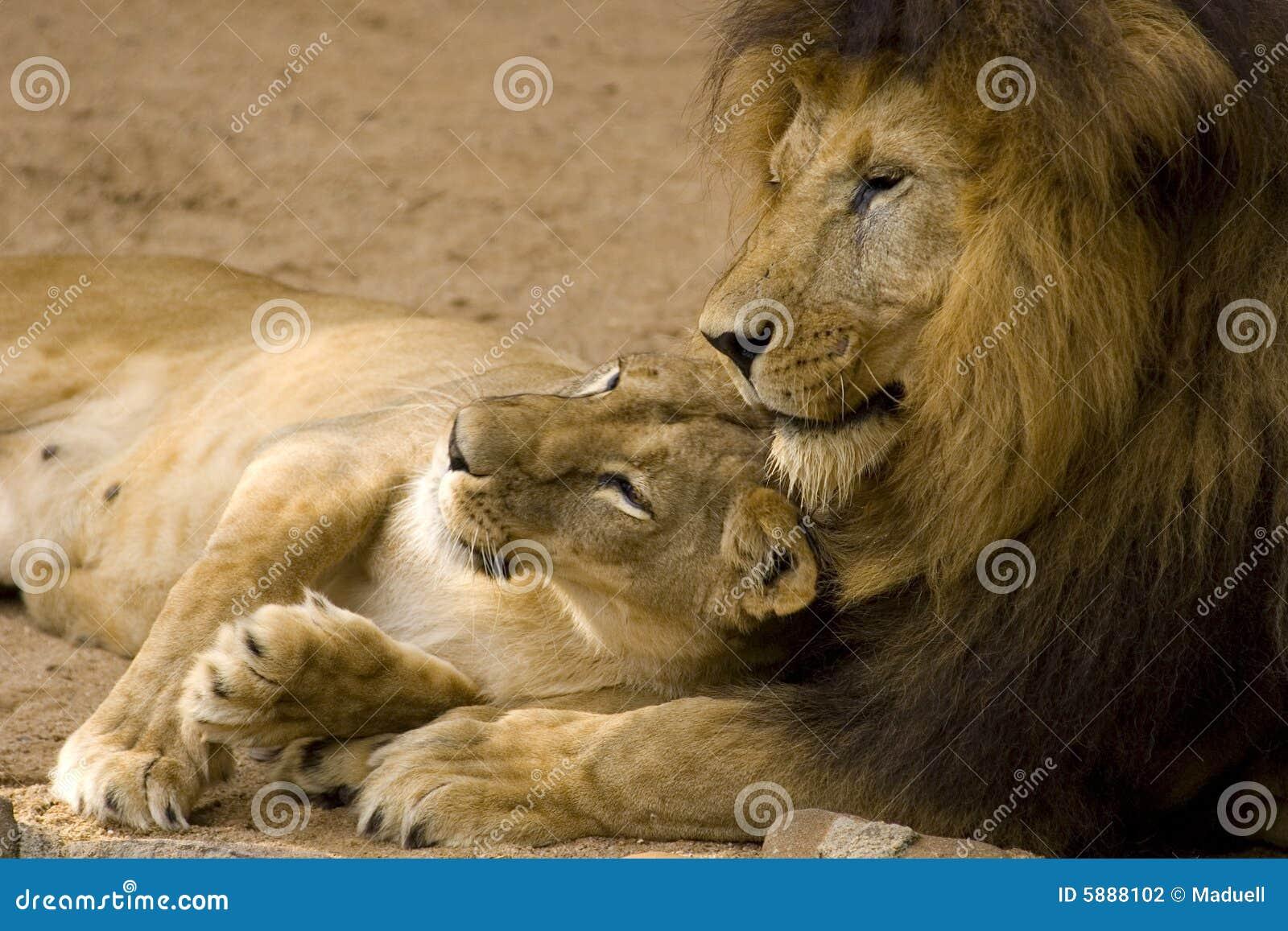 Couples de lion photo stock image du undomesticated - Photos de lions gratuites ...