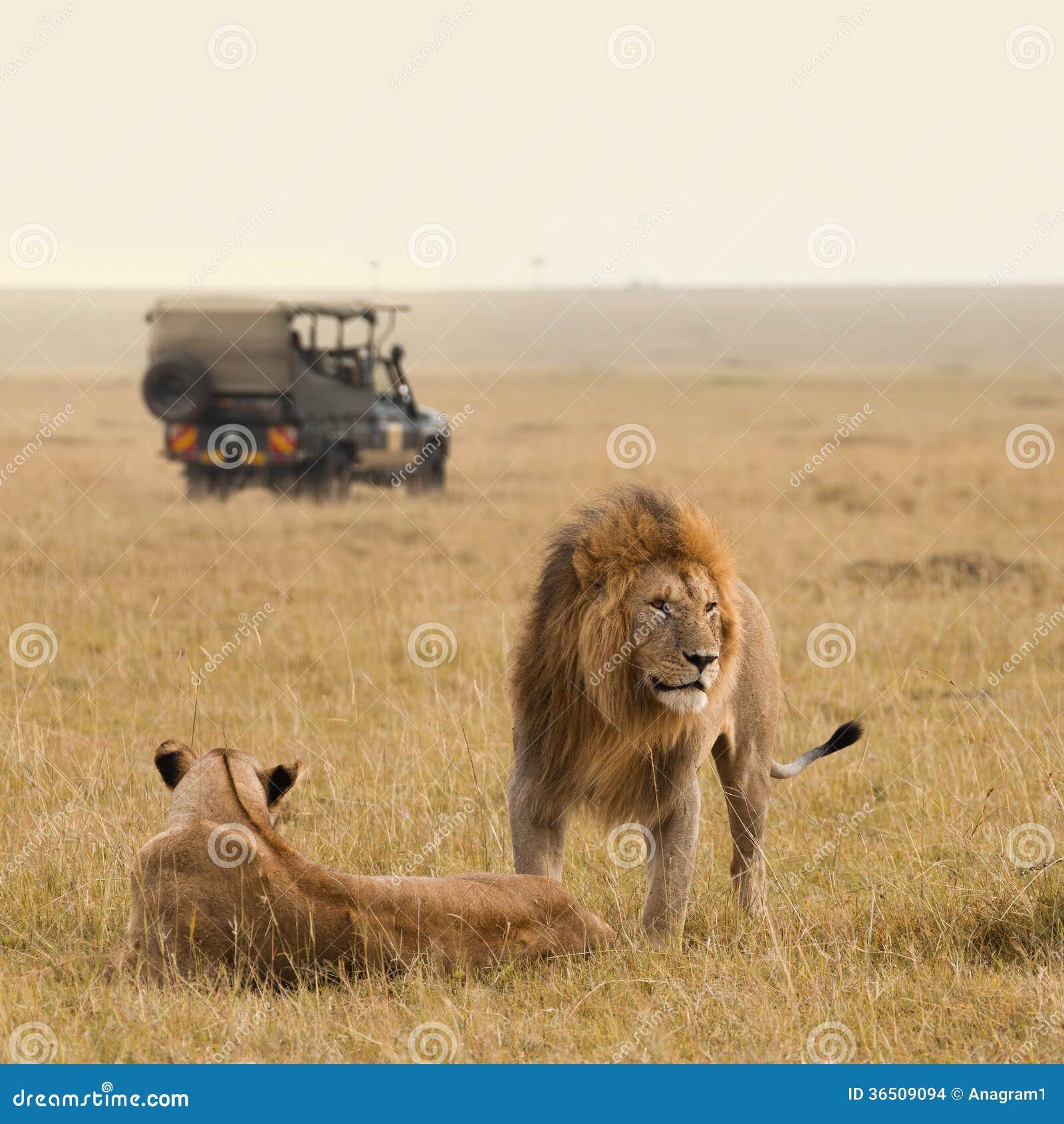 Couples de lion et jeep africains de safari