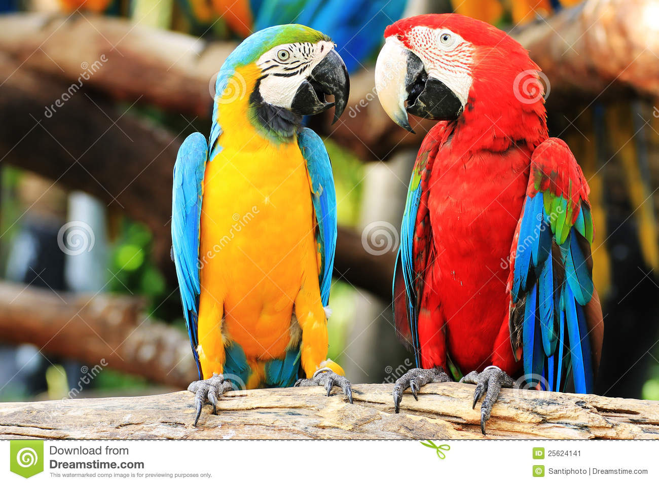 Couples de macaw de perroquet