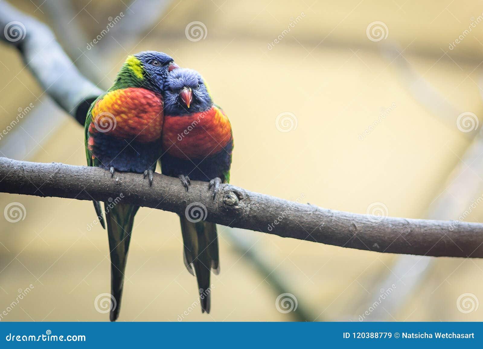 Couplez l amant des perroquets ou des lorikeets sauvages d arc-en-ciel