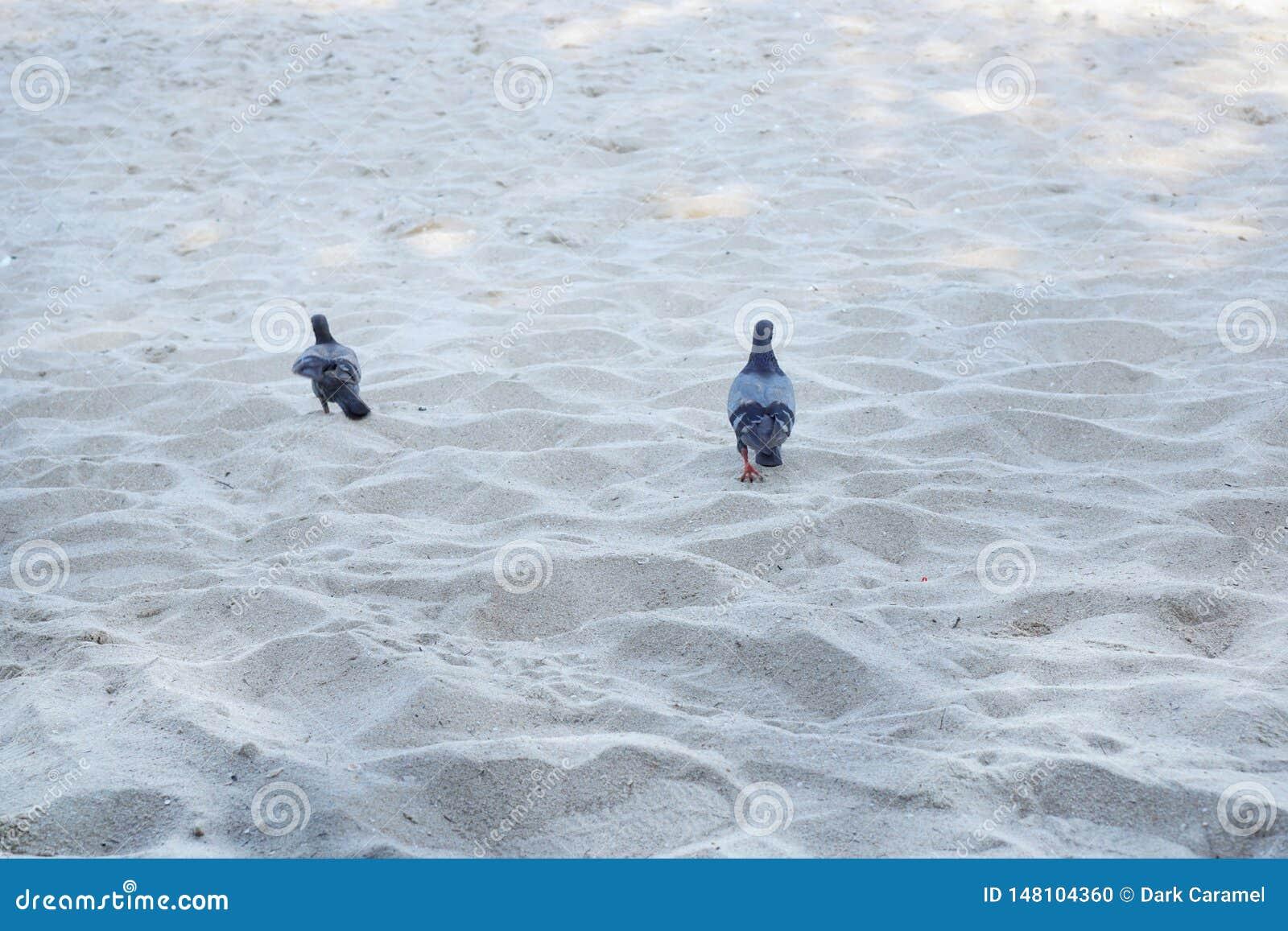 Couplez le pigeon marchant sur la plage de sable pendant le matin
