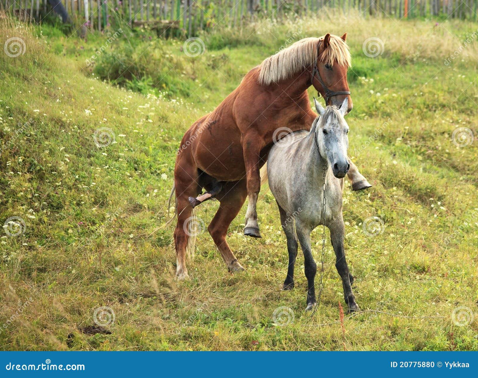 Coupling Horses. Stock Photo - Image: 20775880