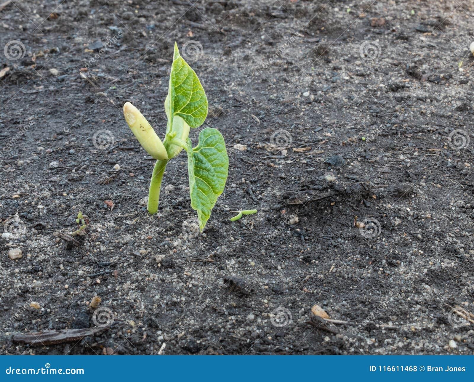Coureur organique Bean Seedling