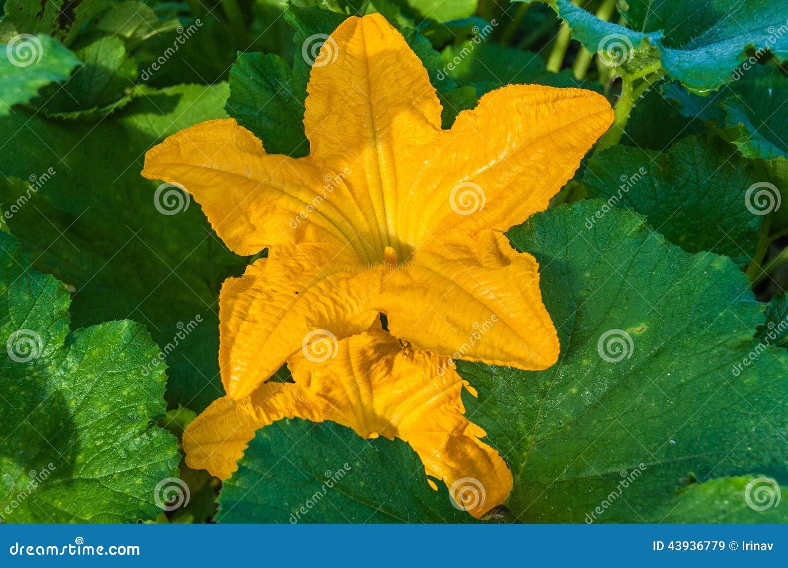 Courgette flower growing garden stock image image of leaf crops courgette flower growing garden leaf crops mightylinksfo