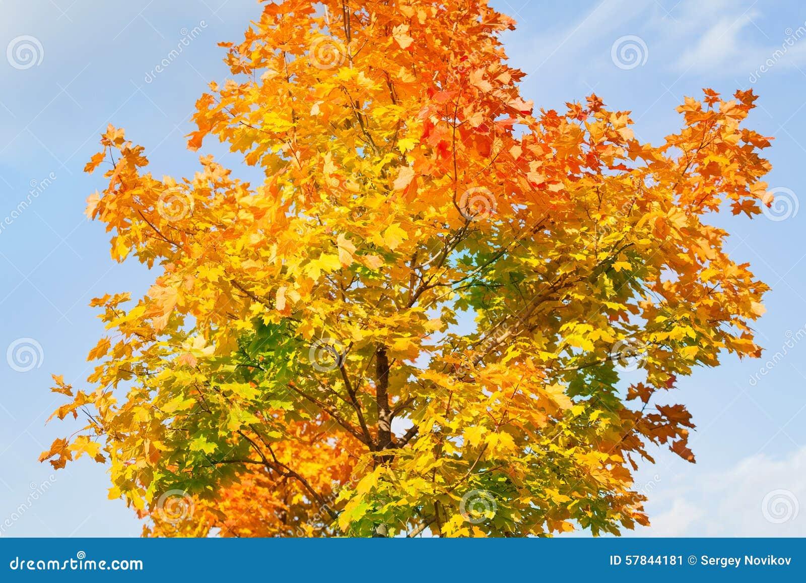 Couronne de l 39 arbre d 39 rable dans toutes les couleurs d 39 automne photo stock image 57844181 - Arbre de l avocat ...