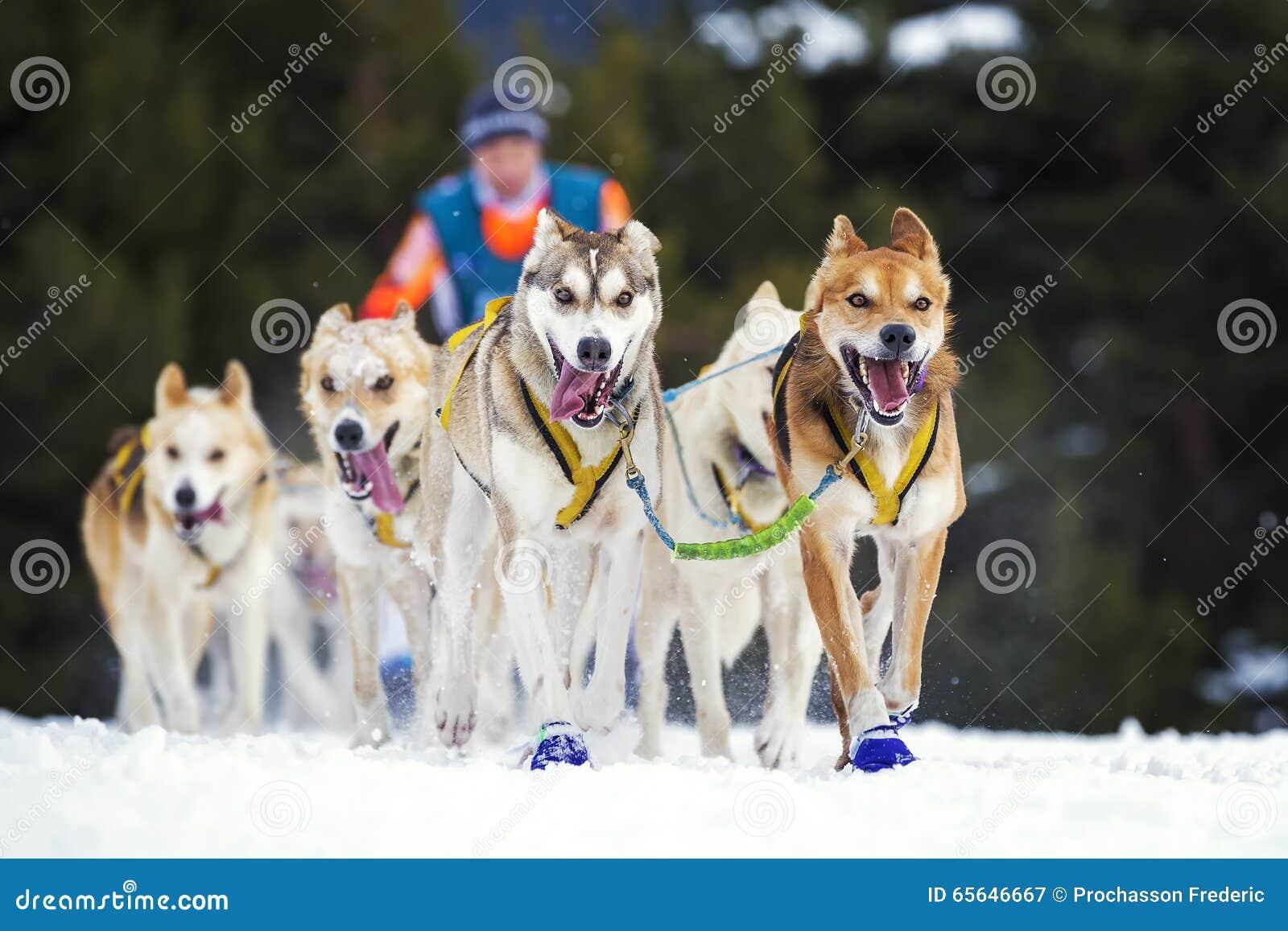 Course de chien de traîneau sur la neige