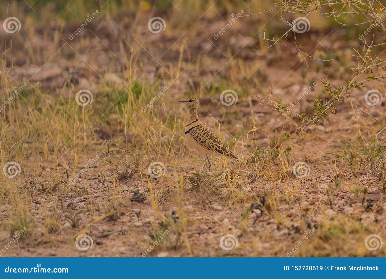 Courser Dobro-unido Rhinoptilus Africanus