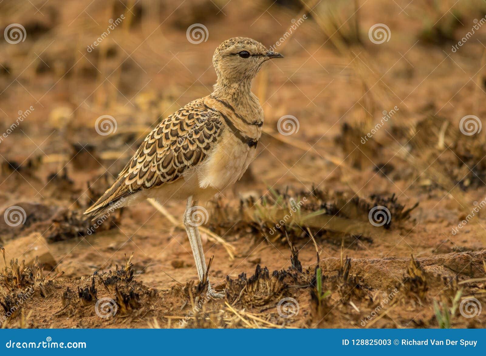 Courser Dobro-unido um pássaro no sul - paisagem africana