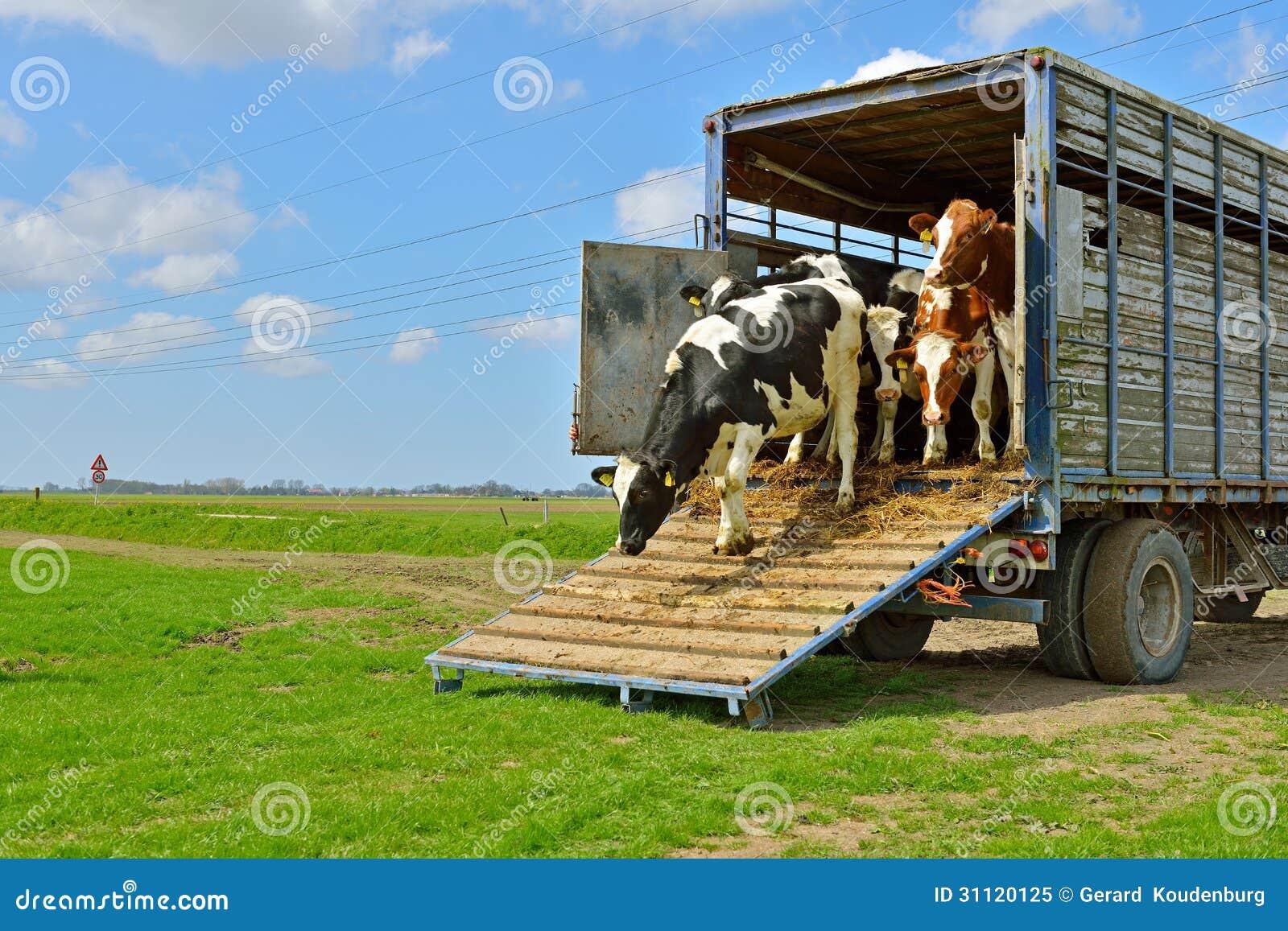 Courses de vache dans le pré après transport de bétail