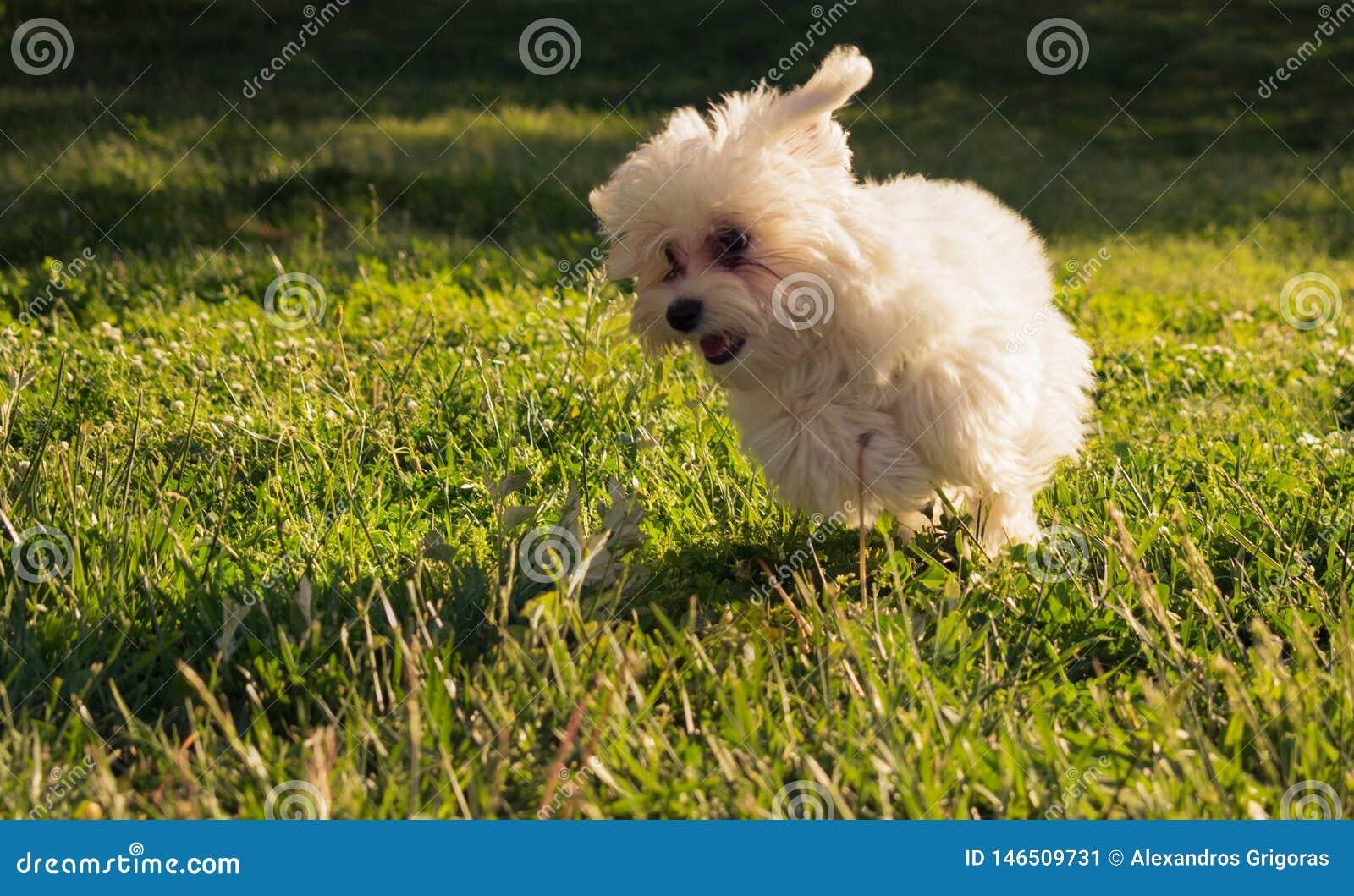 Courses maltaises heureuses de chiot sur l herbe