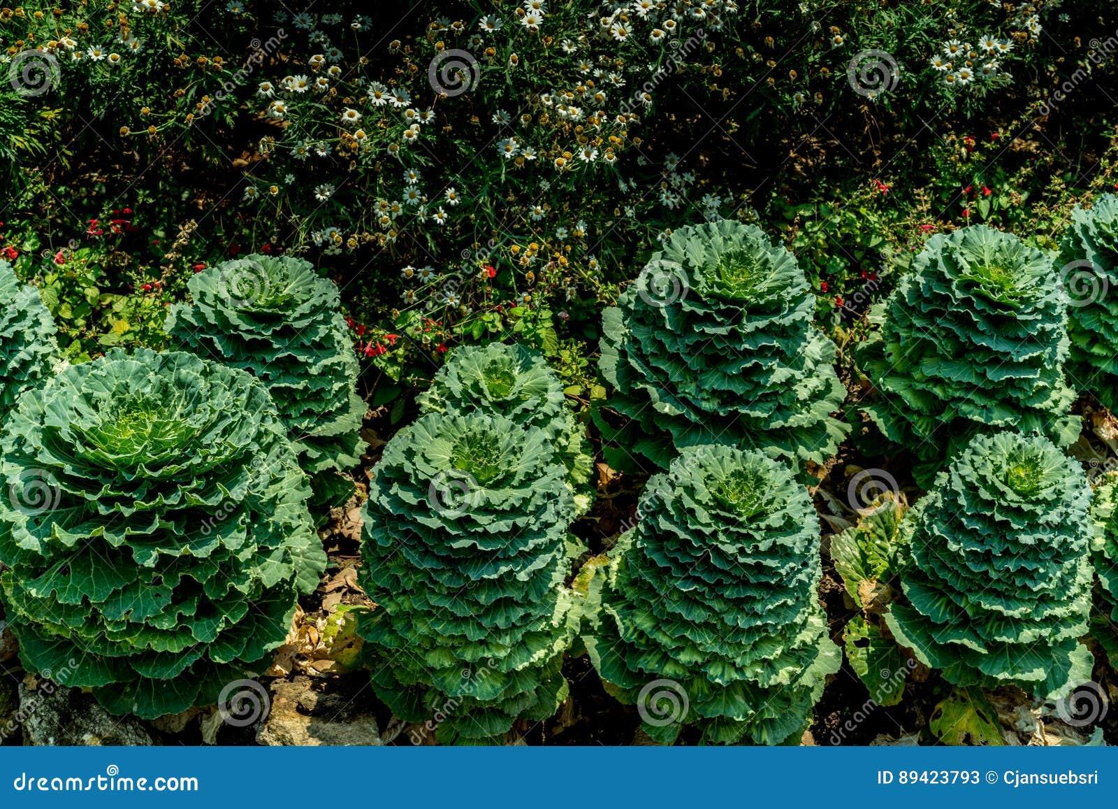 Couve extravagante verde