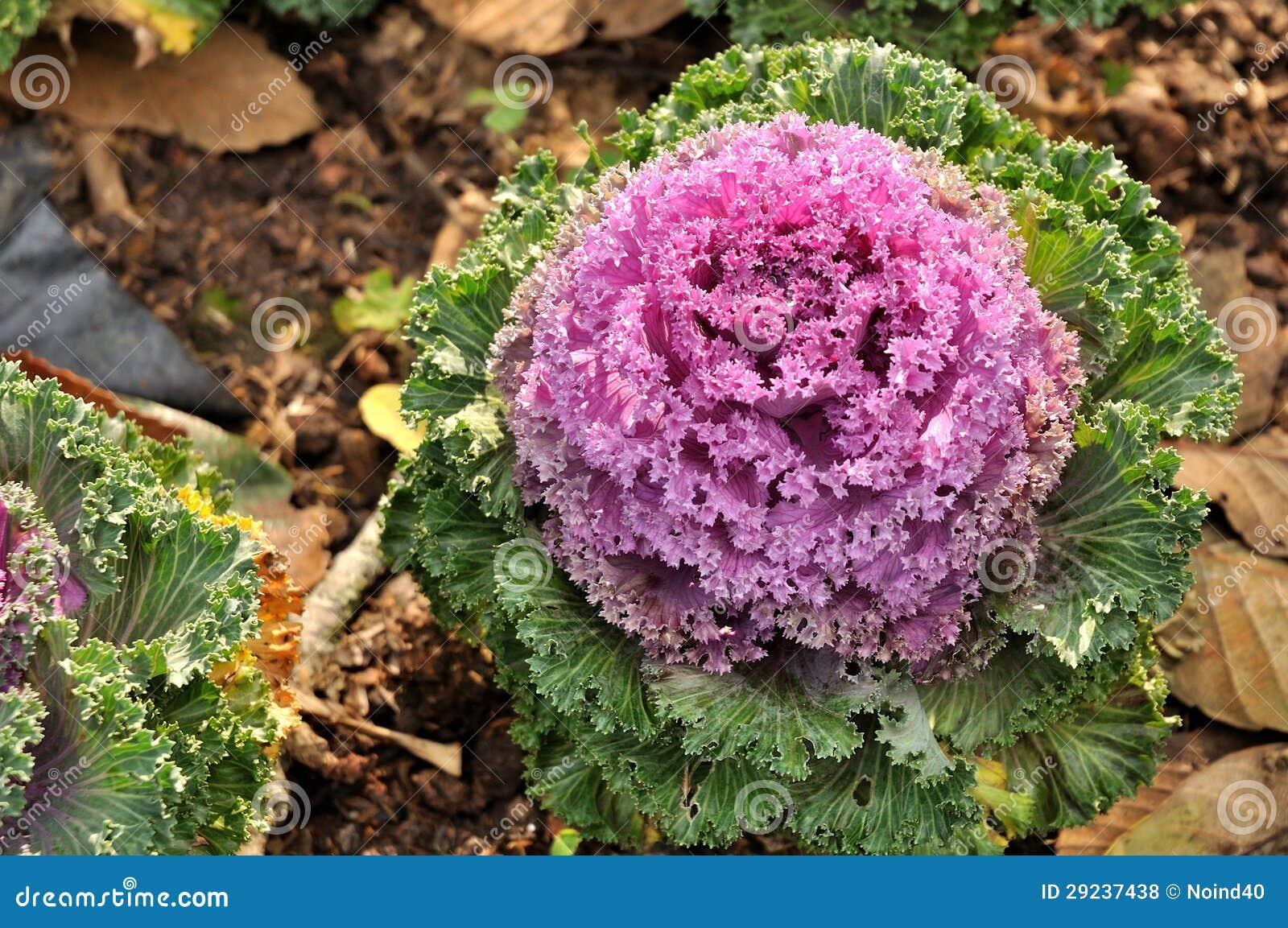 Download Couves-flores coloridas foto de stock. Imagem de crescimento - 29237438