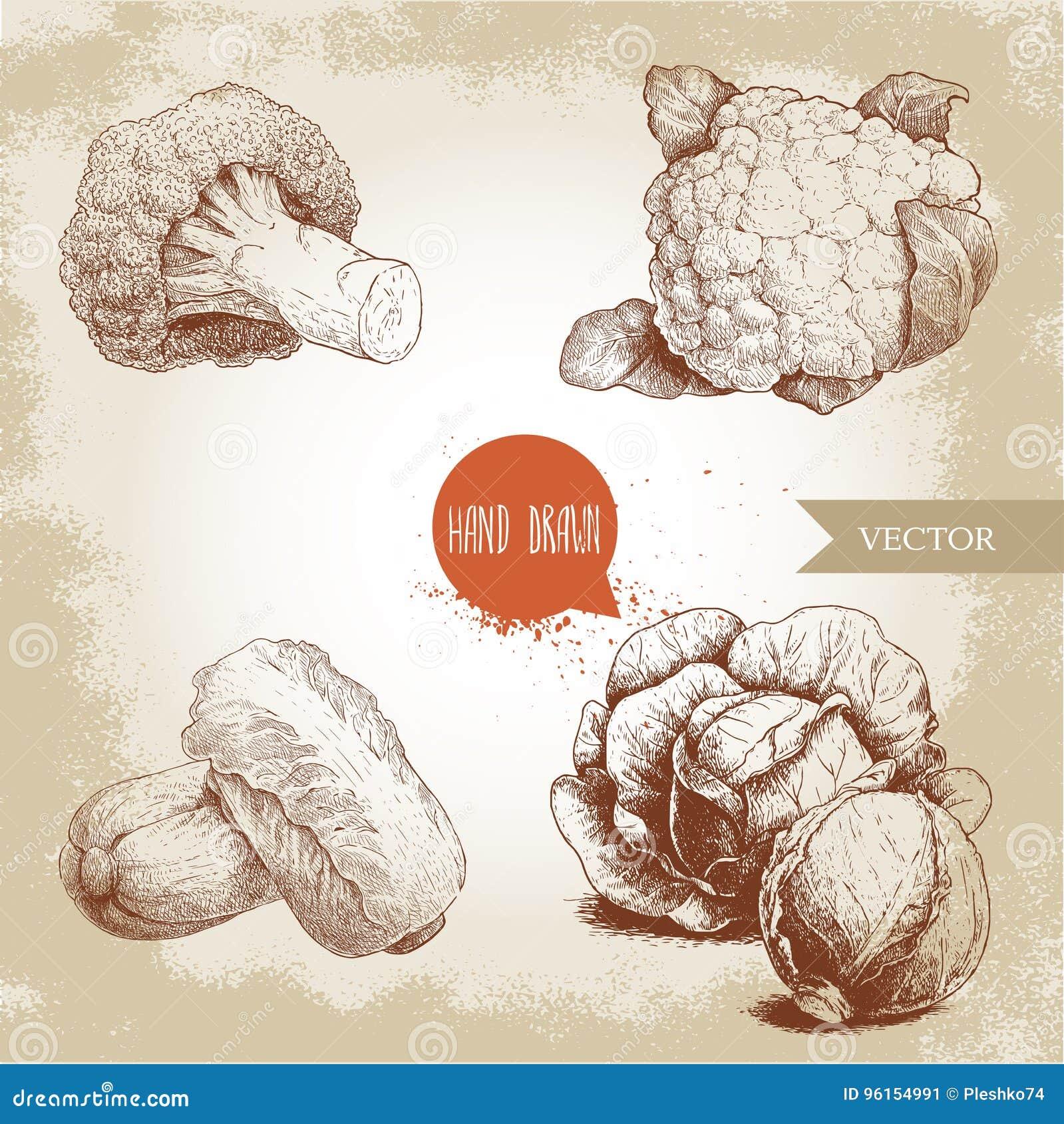 Couves tiradas mão do estilo do esboço ajustadas Composições de pe-tsai das cabeças, da couve-flor, dos brócolis e da couve chine