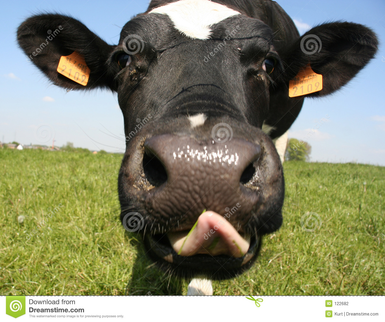 Download Cow stock photo. Image of bright, funny, bovine, pasture - 122682