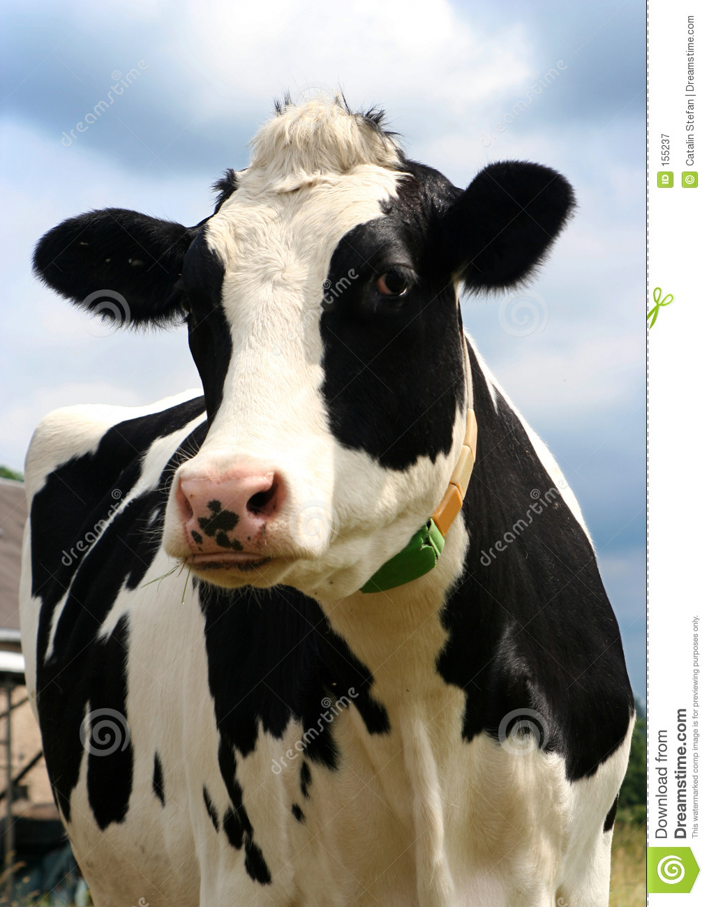 Photography Royalty Free Cow
