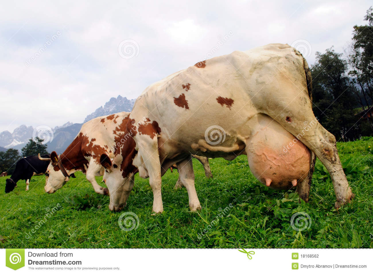 Cow Stock Photography - Image: 18168562