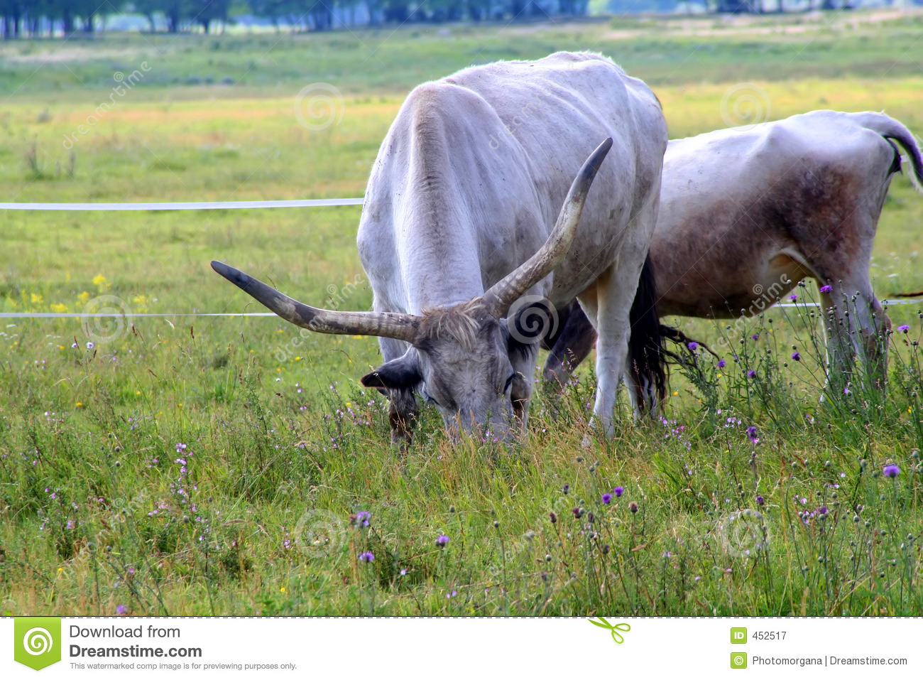 Download Cow stock image. Image of mammal, nature, cattle, bull - 452517
