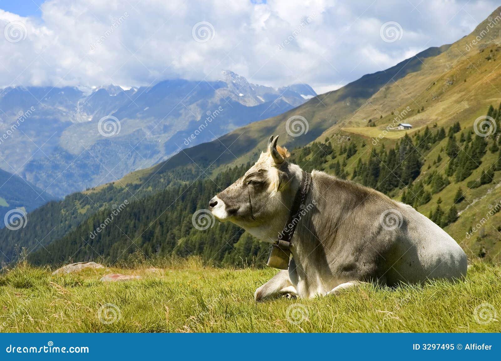 A cow on alp grass