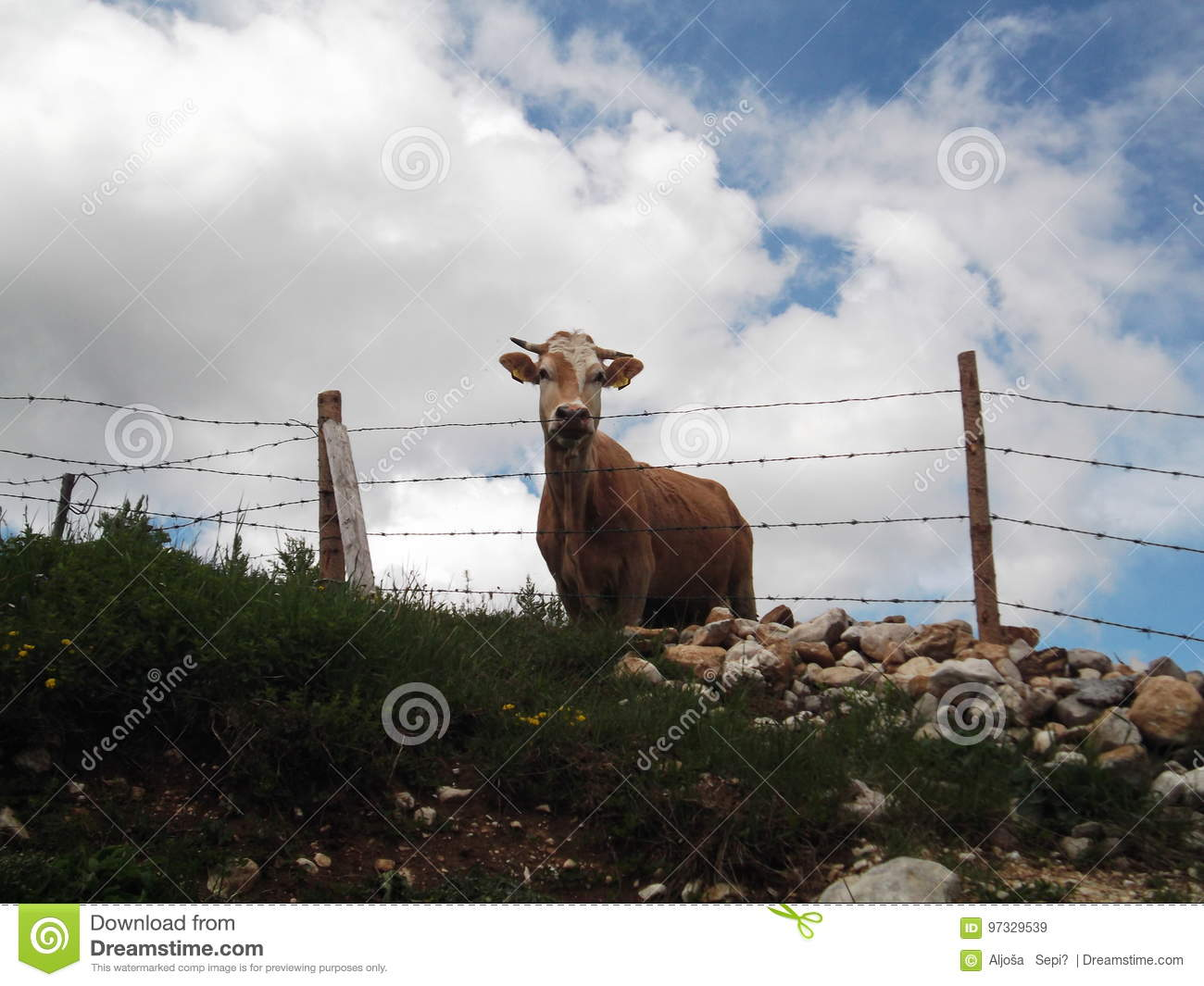 Cow behind the barbed wire stock image. Image of bale - 97329539