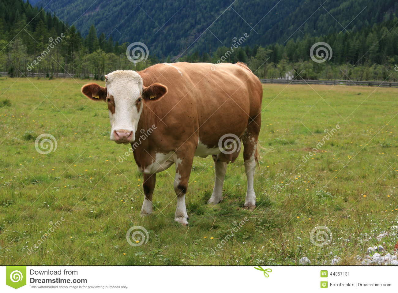 Cattle vocabulary. An intact male bovine is called a bull.A young male bovine is called a bullock.A mature female that has given birth to at least one or two calves is called a cow.A young bovine between birth and weaning is called a interactivebest.ml or more of these young bovines are calves.A female that has never had a calf is called a heifer, (pronounced