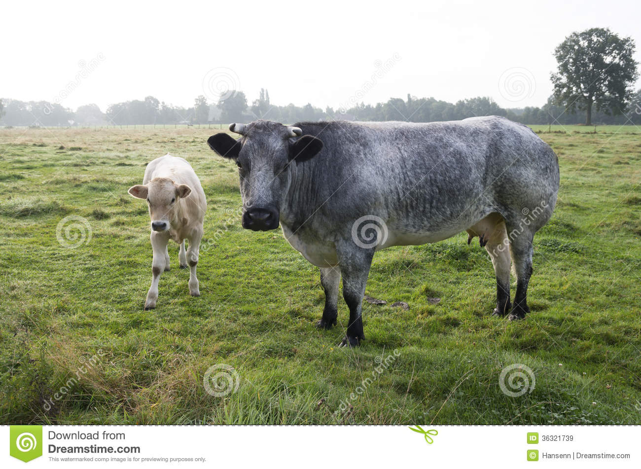 Cow With Calf R...