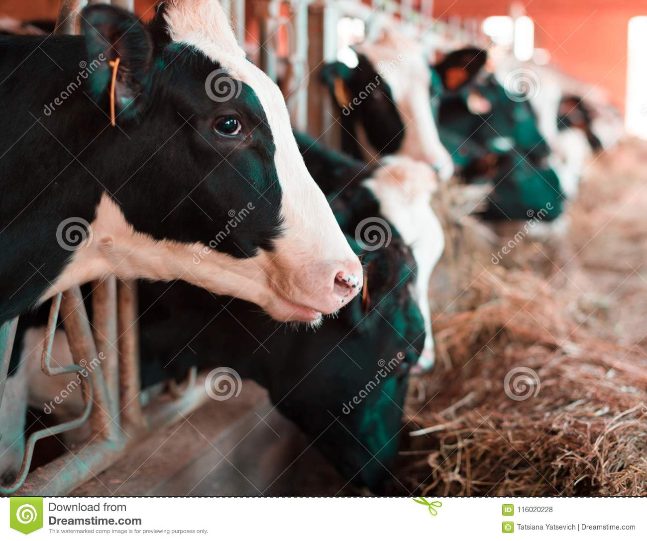 Cow chewing food on farm