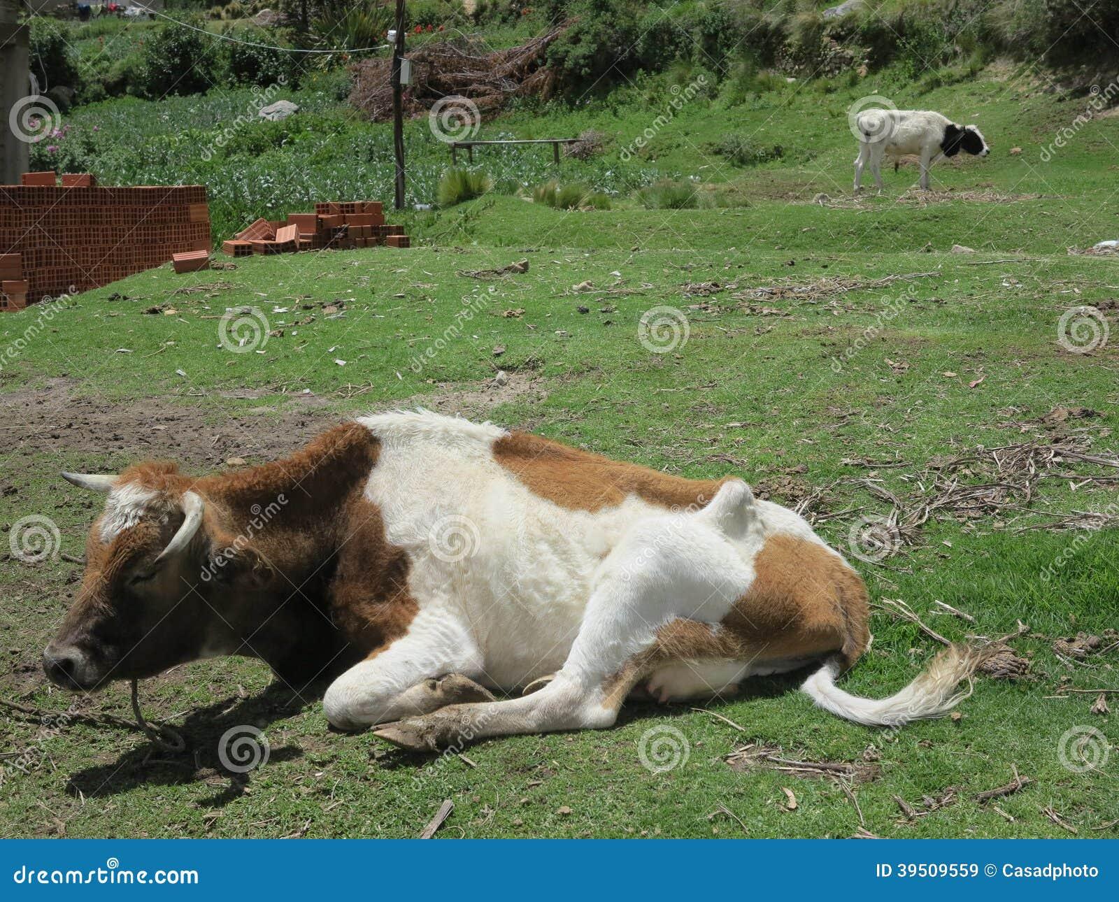 Cow in copacabana, titicaca lake