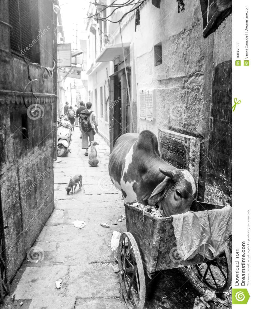Animals eating garbage left by humans, City cow, Varanasi, India