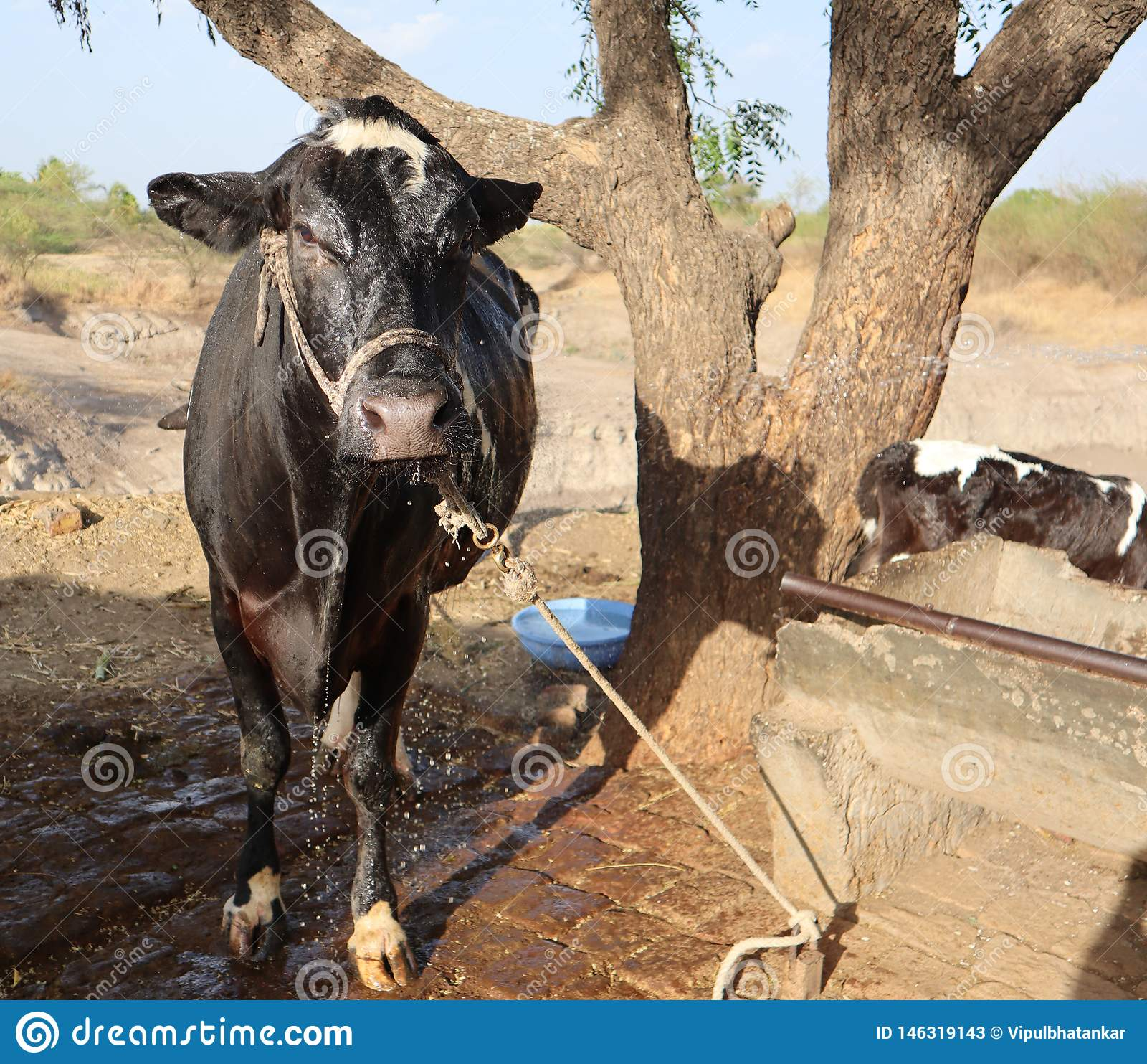 A cow drenched in water after bath