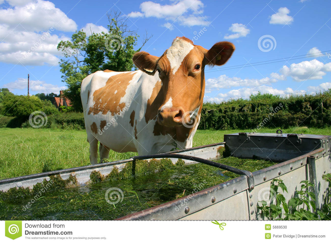 Drinking Milk From Cow