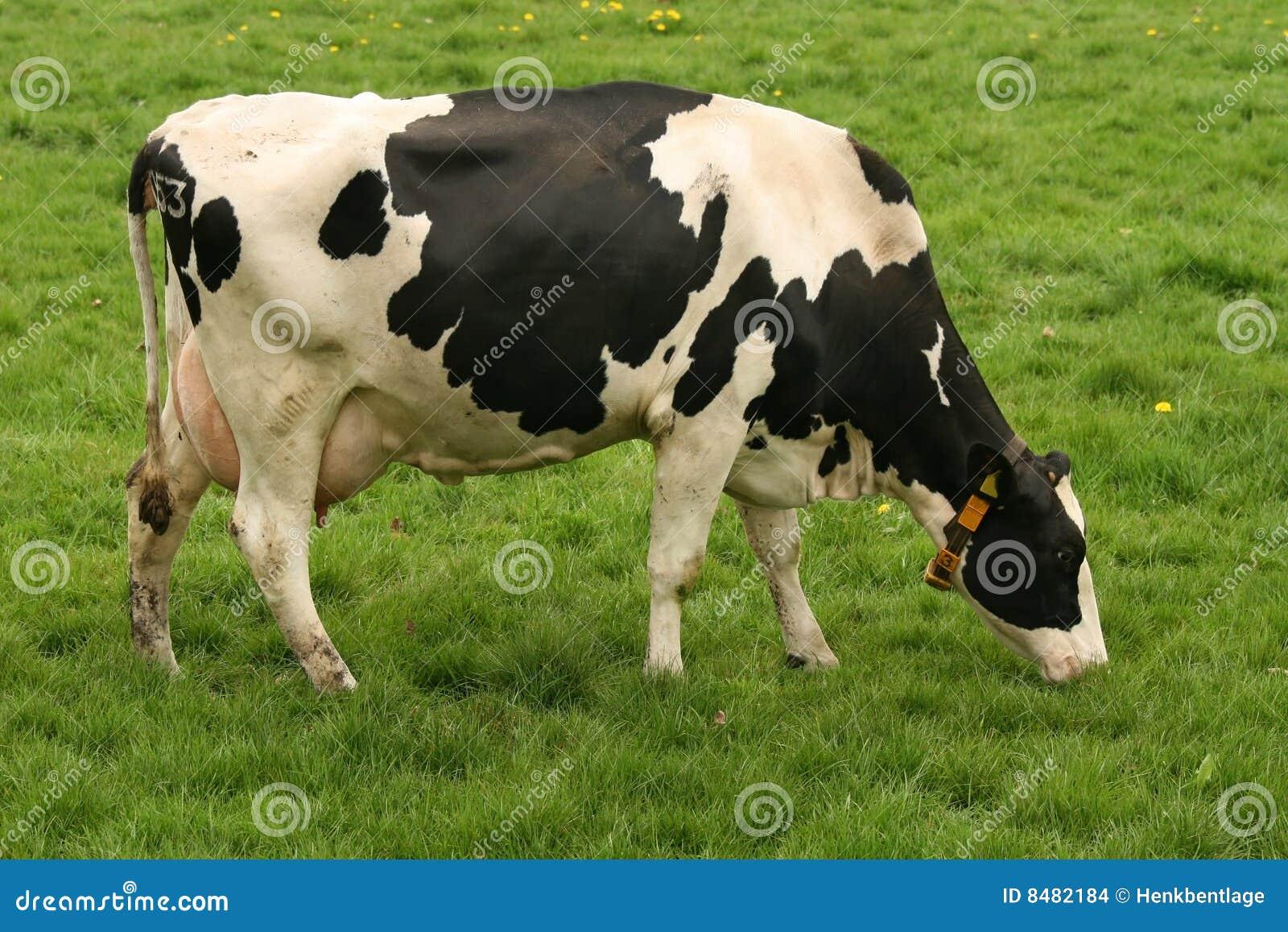 : cow, cattle, livestock, animal, farm animal, grass, green, black ...